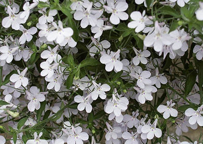 Lobelia – Hot White