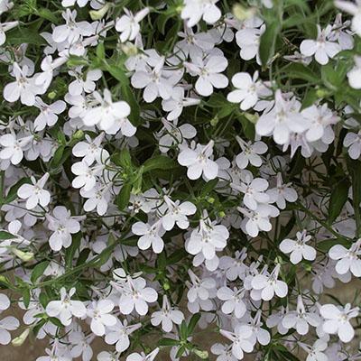 Lobelia – Hot White