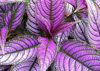 Strobilanthes – Persian Shield