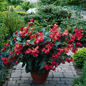BEGONIA Fibrous Dragon Wing Red
