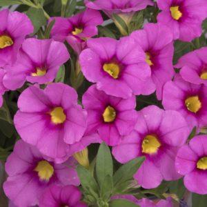 CALIBRACHOA (Million Bells-Callie) Bloomtastic Tiki Pink