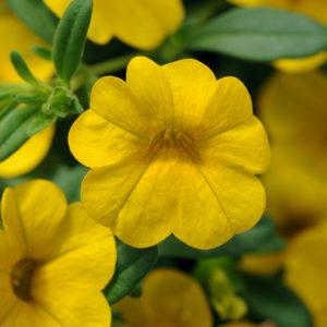 CALIBRACHOA (Million Bells-Callie) Cabaret Yellow Deep