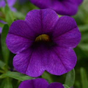 CALIBRACHOA (Million Bells-Callie) Conga Blue Dark