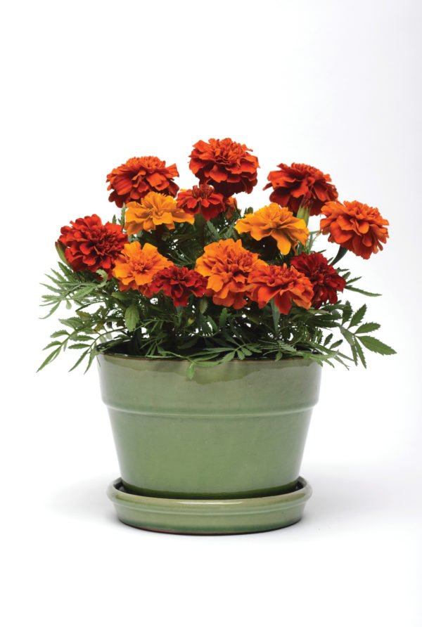 MARIGOLD Fireball (French)