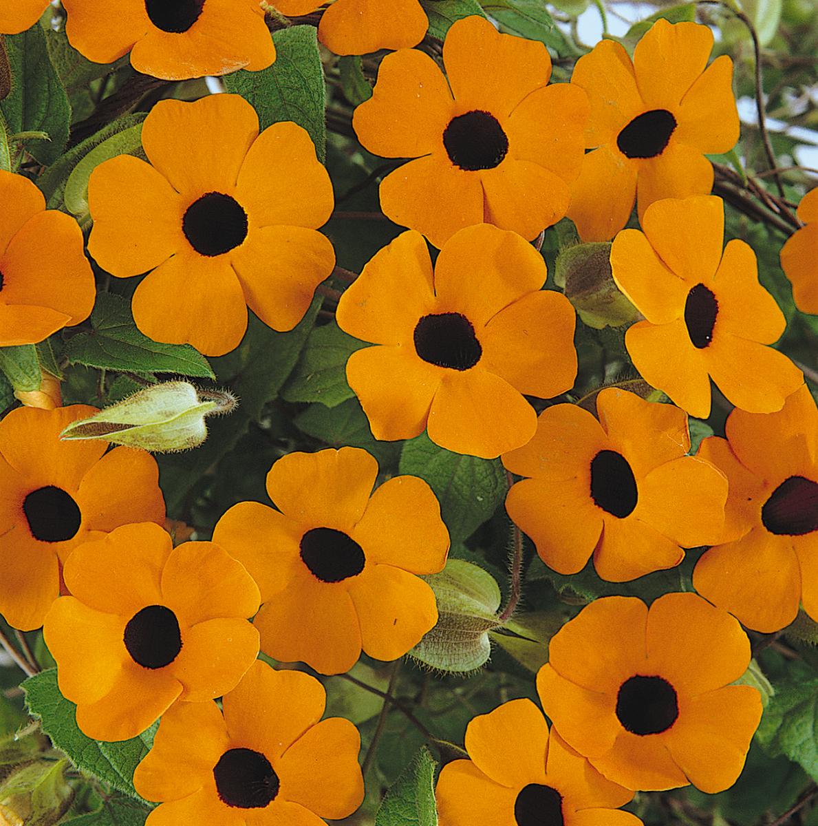 THUNBERGIA Sunny Orange Wonder