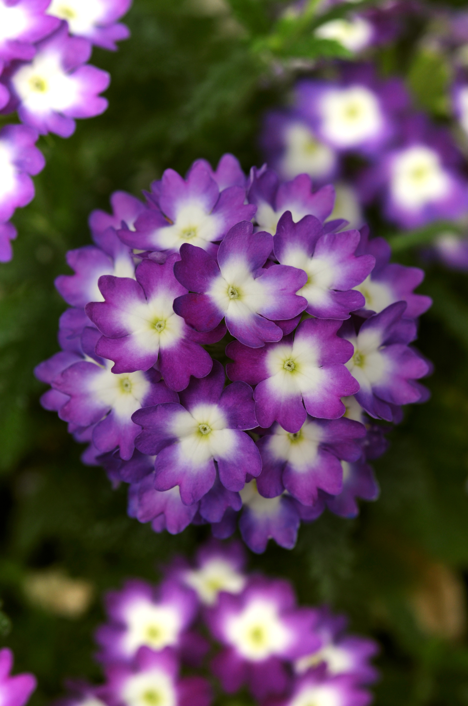 VERBENA Wink Violet